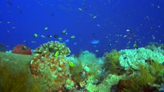 Diving footage of pristine coral reef with a field of various hard and soft coral and group of randall fusilier (Pterocaesio randalli), Forgotten Islands, Indonesia. The camera is going over the reef while slightly panning.