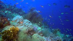 Diving footage of pristine coral reef with a field of various hard and soft coral, a group of randall fusilier (Pterocaesio randalli) and many other fishes swimming around, Forgotten Islands, Indonesia. The camera is going over the reef while slightly panning.