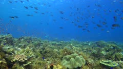 Diving footage of pristine coral reef with a field of various hard and soft coral, a group of Sleek Unicornfish (Naso hexacanthus), Forgotten Islands, Indonesia. The camera is going sideway over the reef.