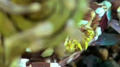 Diving footage of Harlequin Crab (lissocarcenus laevis), close up on mouth, Alor Island, Indonesia. The camera is staying as still as possible…