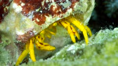 Diving footage of hermit crab with yellow body and brown lines on legs eating algaes, Alor Island, Indonesia. The camera is still on tripod.