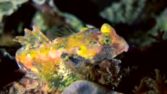 Diving footage of ocellated dragonet (Synchiropus ocellatus), from side, Alor Island, Indonesia. The camera is staying as still as possible.