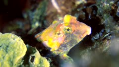 Diving footage of ocellated dragonet (Synchiropus ocellatus), close up on head, Alor Island, Indonesia. The camera is staying as still as possible.