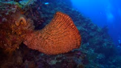 Diving footage of barrel sponge next to purple gorgonian fan soft coral with a few colorful anthias swimming around and divers nearby, Alor Island, Indonesia. The camera is facing the sponge and is going backward away from it while turning.