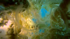 Diving footage of Rhizostome jellyfish (Thysanostoma thysanura) swimming in mid-water with fish hiding inside, from below, Forgotten Islands, Indonesia. The camera is starting very close to the jellyfish and is slowly going away.