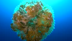 Diving footage of Rhizostome jellyfish (Thysanostoma thysanura) swimming in mid-water with fish hiding inside, from below, Forgotten Islands, Indonesia. The camera is starting below the jellyfish and is going on its side.
