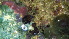 Diving footage of mandarinfish (Synchiropus splendidus) hiding under coral, Alor Island, Indonesia. The camera is going slowly towards the mandarinfish.