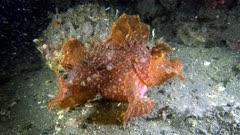 Diving footage of paddle-flap scorpionfish (Rhinopias eschmeyeri) staying still on sandy bottom, Alor Island, Indonesia. The camera is staying as still as possible.