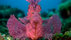 Diving footage of purple paddle-flap scorpionfish (Rhinopias eschmeyeri) sitting on coral, close up from front, Alor Island, Indonesia. The camera is staying as still as possible.