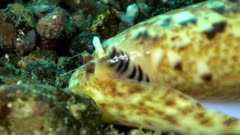 Diving footage of snail on its cone shell with its eyes and siphon out moving on ruble, Alor Island, Indonesia. The camera is following the snail.