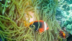Underwater footage of tomato or bridled anemonefish (Amphiprion frenatus) swimming between the tentacles of magnificent sea anemone (Heteractis magnifica), Komodo National Park, Indonesia. The camera is slowly going towards the anemone.