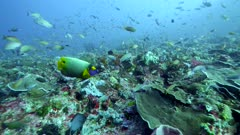 Underwater footage of blue-face or yellow-mask angelfish (Pomacanthus xanthometopon) swimming over pristine reef composed of various hard and soft coral, many different tropical fishes are around, Komodo National Park, Indonesia. The camera is going over the reef.