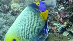 Underwater footage of blue-face or yellow-mask angelfish (Pomacanthus xanthometopon) hovering over pristine reef composed of various hard and soft coral, Komodo National Park, Indonesia. The camera is following the fish.