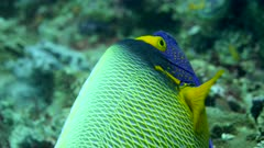 Underwater footage of blue-face or yellow-mask angelfish (Pomacanthus xanthometopon) hovering and getting in position to be cleaned by small wrasse, Komodo National Park, Indonesia. The camera is behind the fish and is staying as still as possible.