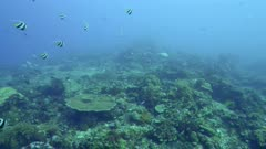 Underwater footage of group of longfin bannerfishes (Heniochus acuminatus) swimming over pristine reef composed of various hard and soft coral, divers passing in the background, Komodo National Park, Indonesia. The camera is panning along the reef.