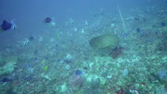 Underwater footage of whitetip reef shark (Triaenodon obesus) swimming in a group of longfin bannerfishes, various sweetlips, giant trevallies and more, Komodo National Park, Indonesia. The camera is following the shark.