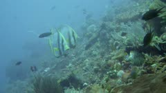 Underwater footage of 3 shaded batfishes (Platax pinnatus) swimming between wire coral over mix of hard and soft coral reef, Komodo National Park, Indonesia. The camera is following the fishes.