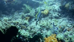Underwater footage of a shaded batfish (Platax pinnatus) staying still over mix of hard and soft coral reef, Komodo National Park, Indonesia. The camera is slowly going towards the fish.