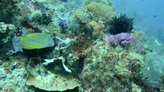 Underwater footage of a yellow boxfish (Ostracion cubicus) checking some algae before swimming away, Komodo National Park, Indonesia. The camera is slowly going towards the fish.