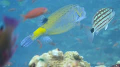 Underwater footage of a yellow boxfish (Ostracion cubicus) swimming along checkered snapper (Lutjanus decussatus), Komodo National Park, Indonesia. The camera is following the boxfish.