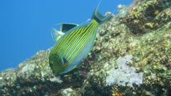 Underwater footage of a saddled butterflyfish (Chaetodon ephippium) swimming and eating algae off rocks, various tropical fishes passing nearby, Komodo National Park, Indonesia. The camera is following the fish.
