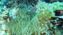 Underwater footage of spine-cheek anemonefishes (Premnas biaculeatus) swimming between the tentacles of their anemone, Komodo National Park, Indonesia. The camera is going towards the fishes.