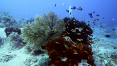 Underwater footage of rock with sponge, sea fan, green tree coral growing on top, different colorful fishes like anthias and damselfishes swimming over it, divers in the background, Komodo National Park, Indonesia. The camera is turning around the rock.