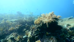 Underwater footage of pristine field of various hard and soft coral with cloud of different fishes like damselfishes swimming over it, diver swimming nearby, Komodo National Park, Indonesia. The camera is going over the reef while panning.