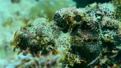 Underwater footage of tasseled scorpionfish (Scorpaenopsis oxycephala) being still on coral with only eye moving slightly, Komodo National Park, Indonesia. The camera is turning around the fish.