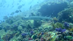 Underwater footage of whitetip reef shark (Triaenodon obesus) swimming over pristine field of various hard and soft coral with cloud of different tropical fishes, Komodo National Park, Indonesia. The camera is following the shark swimming.