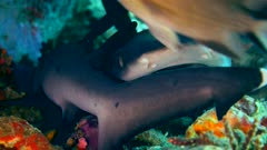 Underwater footage of candy crab staying still on colorful divericate tree coral (Dendronephthya roxasia), Komodo National Park, Indonesia. The camera is staying as still as possible.