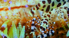 Underwater footage of long-horned spider crab (Naxiodes taurus) between coral full of small amenone like transparent things, Komodo National Park, Indonesia. The camera is staying as still as possible.