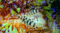Underwater footage of giant sea cucumber or amberfish (Thelenota anax) moving on sandy area to go over a rock, Komodo National Park, Indonesia. The camera is turning around the sea cucumber.
