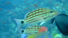 Underwater footage of checkered snapper (Lutjanus decussatus) swimming in middle of other tropical fishes and coming towards the camera, Komodo National Park, Indonesia. The camera is following the fish.