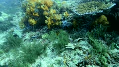 Underwater footage of coral reef with hydrozoan, orange soft coral and table coral, Komodo National Park, Indonesia. The camera is going towards the soft coral while tilting up.