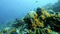 Underwater footage of pristine hard and soft coral reef with various fishes including damselfishes and map pufferfish at the end and bright orange soft coral, Komodo National Park, Indonesia. The camera is going over the reef towards the pufferfish.