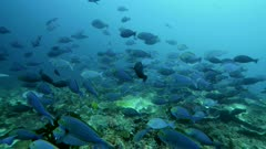 Underwater footage of school of yellowmask surgeonfishes (Acanthurus mata) hovering over reef with whitetip reef shark behind, Komodo National Park, Indonesia. The camera is facing the group and is going along with it.