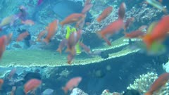Underwater footage of pristine field of various hard and soft coral with group of yellow goatfish (Mulloidichthys martinicus) hovering over it, Komodo National Park, Indonesia. The camera is going over the reef towards the fishes.