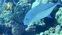 Underwater footage of bluefin trevally (Caranx melampygus) swimming in circle over reef, Komodo National Park, Indonesia. The camera is following the fish.