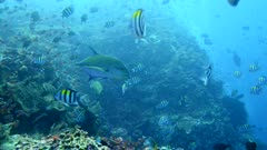 Underwater footage of bluefin trevally (Caranx melampygus) swimming in the middle of group of sergeantfishes, Komodo National Park, Indonesia. The camera is following the fish.