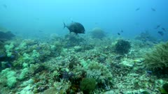 Underwater footage of huge giant trevally (Caranx ignobilis) hovering over pristine hard and soft coral reef while being cleaned by wrasses and then starting swimming away, Komodo National Park, Indonesia. The camera is following the fish.