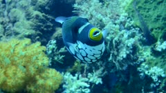 Underwater footage of clown triggerfish (Balistoides conspicillum) swimming over healthy coral reef, Komodo National Park, Indonesia. The camera is following the fish.