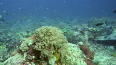 Underwater footage of pristine field of various hard and soft coral with cloud of different fishes like damselfishes and neon fusiliers swimming over it, divers in the background, Komodo National Park, Indonesia. The camera is panning along the reef.