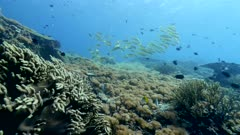 Underwater footage of pristine field of various hard and soft coral with group of yellow goatfish(Mulloidichthys martinicus) swimming over it, Komodo National Park, Indonesia. The camera is going over the reef towards the fishes.