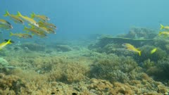 Underwater footage of pristine field of various hard and soft coral with group of yellow goatfish(Mulloidichthys martinicus) and damselfishes swimming over it, Komodo National Park, Indonesia. The camera is going sideway over the reef.