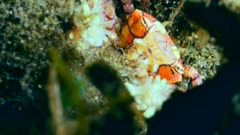 Underwater footage of pom-pom crab eating something while hiding between rocks, Komodo National Park, Indonesia. The camera is staying as still as possible.