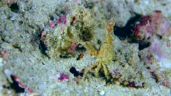 Underwater footage of long-horned spider crab (Naxiodes taurus) not moving on sandy bottom, Komodo National Park, Indonesia. The camera is staying as still as possible.