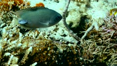 Underwater footage of whitetip reef shark (Triaenodon obesus) swimming in mid-water inside group of longfin bannerfishes, Komodo National Park, Indonesia. The camera is following the shark.