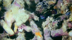 Underwater footage of mandarinfish (Synchiropus splendidus) swimming around dead acropora coral and hiding, Komodo National Park, Indonesia. The camera is staying as still as possible.