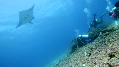Underwater footage of huge giant trevally (Caranx ignobilis) hovering on top of table coral while being cleaned by wrasses, Komodo National Park, Indonesia. The camera is going towards the trevally.